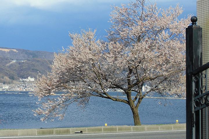 カーサ門外の桜